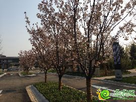 阳光东尚会所园林实景图(2015.4.14)