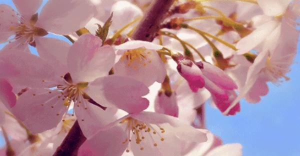 当汉服与樱花相遇,成全了这场最浪漫的约会!